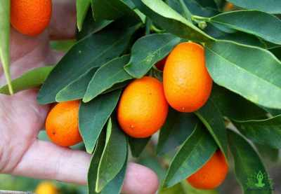 9 Surprising Benefits of Kumquats